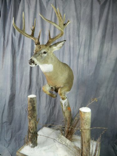 Half life size whitetailed deer mount; Groton, SD (view 2)