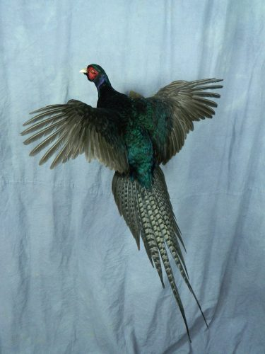 Landing black ringneck pheasant mount; Webster, SD
