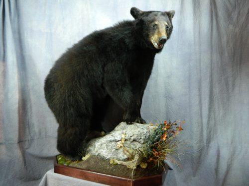 Black bear taxidermy mount; Manitoba, Canada