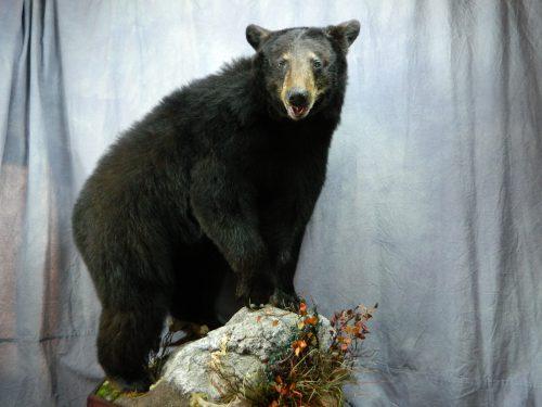 Lifesize black bear taxidermy mount; Manitoba, Canada