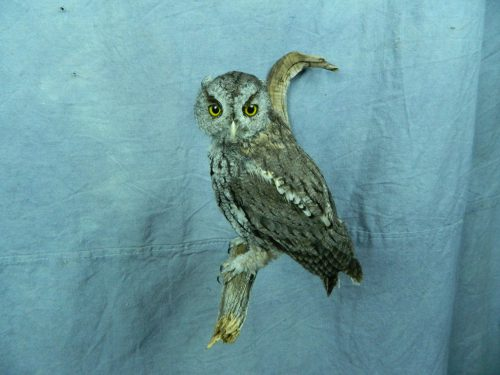 Screech owl taxidermy mount; Nebraska