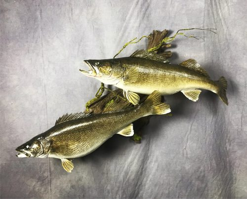 Double Walleye Skin Mount; Northeastern South Dakota
