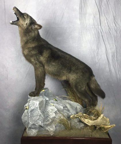 Howling Wolf - Canada