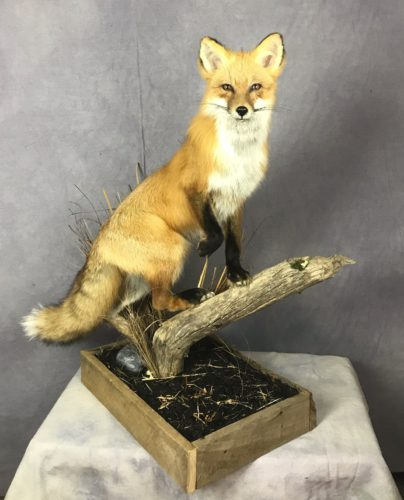 Red Fox - Columbia, SD
