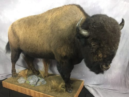 Bison Lifesize Mount - South Dakota