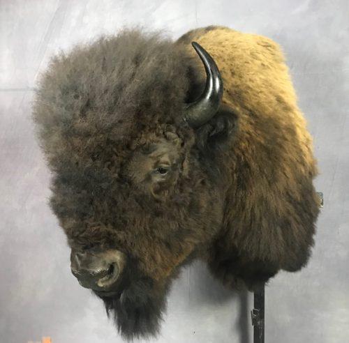 Bison Shoulder Mount - Eastern SD