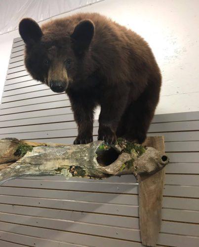 Chocolate Phase Black Bear Life Size Wall Mount - Manitoba