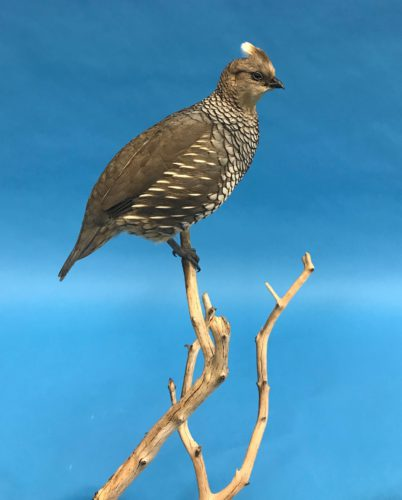 Closeup Scaled Quail Tabletop Mount Arizona
