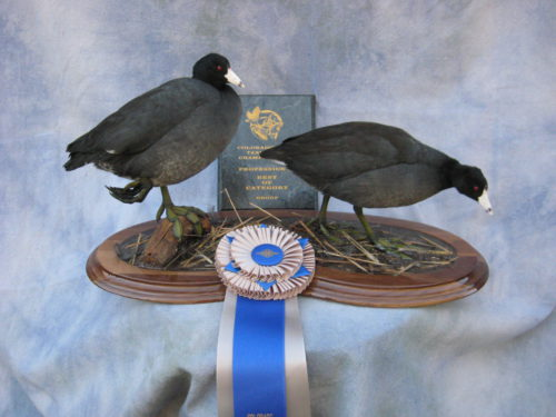 Coot Mount; National Taxidermy Competition Award Winner