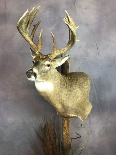 Custom White-Tailed Deer Pedestal Mount Brown County SD (2)