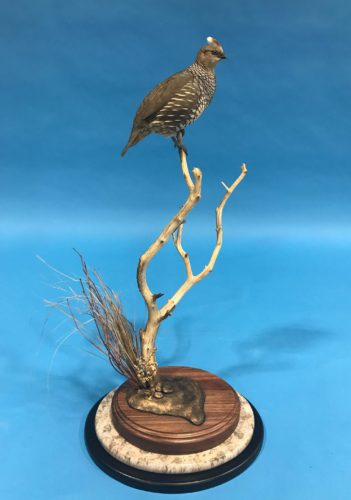 Tabletop Scaled Quail Mount Arizona