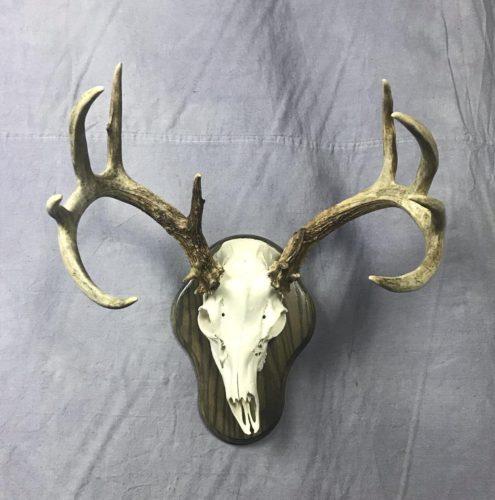 White Tailed Deer European Mount Unique Skull Shape SD