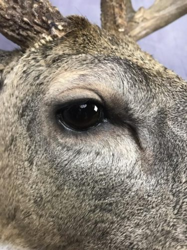 Whitetail Deer Eye Detail