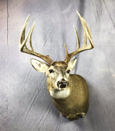 Whitetail Deer Shoulder Mount - SD