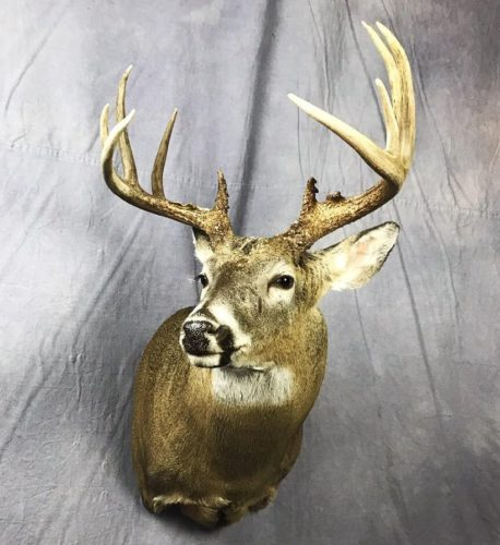 Whitetail Deer Shoulder Mount - South Dakota