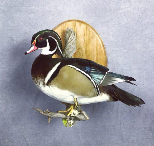 Wood Duck Mount - South Dakota
