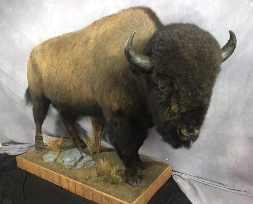 Bison Lifesize Mount